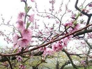 塩山・桃の花.jpg