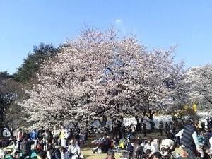御苑・桜1.jpg
