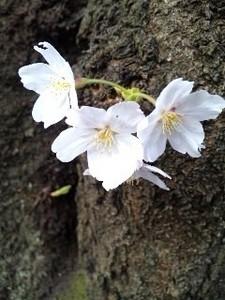 御苑・桜2.jpg
