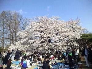 御苑・桜3.jpg