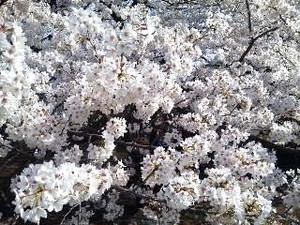 御苑・桜UP.jpg