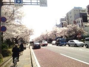 国立・桜.jpg