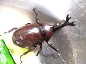 昆虫・カブト1.jpg